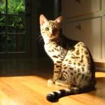 Кошка — идеальное домашнее животное.