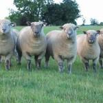 Различные овцы мясной породы и их черты.
