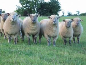 овцы мясной породы